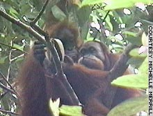 Observational Learning in Sumatran Orangutans