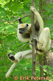 Propithecus tatersalii, Duke Lemur Center, photo by E.S.Peterson