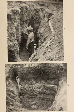 A. One end of a trench used in excavating root systems. B. Distichlis spicata, showing the long rhizomes and shallow roots. J. Weaver (1919) The ecological relations of roots.