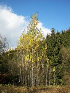 Espengruppe (Populus tremula) in der Nähe der Lahnquelle, Gemeinde Netphen, Nordrhein-Westfalen, Deutschland; Wikimedia Commons - selbst fotografiert von Nikanos CC BY-SA 2.5